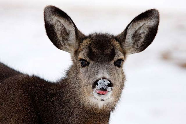 Deer Photography Tips: Mule Deer image in winter with tongue out and snow on nose by Jeff Parker.