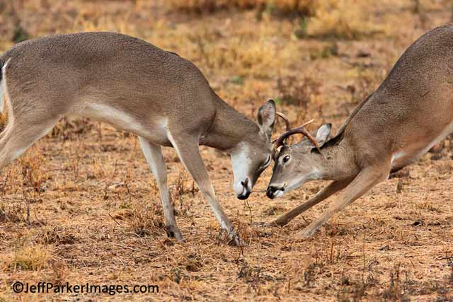 Deer & Elk Photography Tips: Young White-tailed bucks fighting in a field by Jeff Parker.