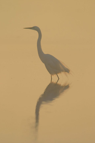 Image of a Great Egret in the fog by Andy Long.