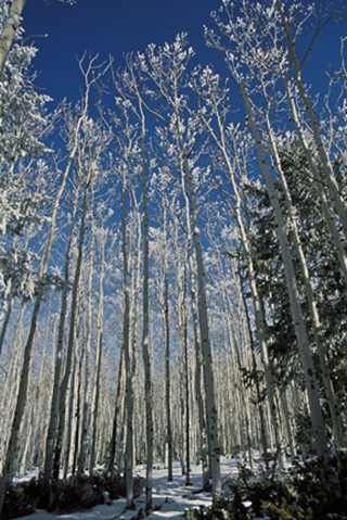 Landscape photo of snow and frost on Aspen trees by Andy Long.