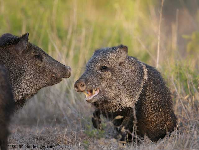 javelina pictures - javelinas fighting