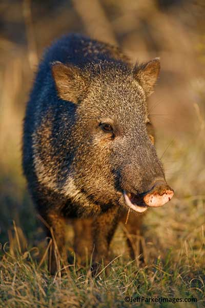 Javelina in evening light - javelina pictures