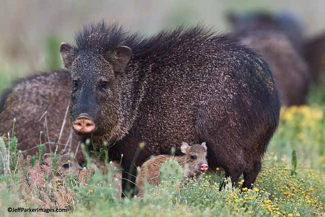 javelina with her young - javelina pictures