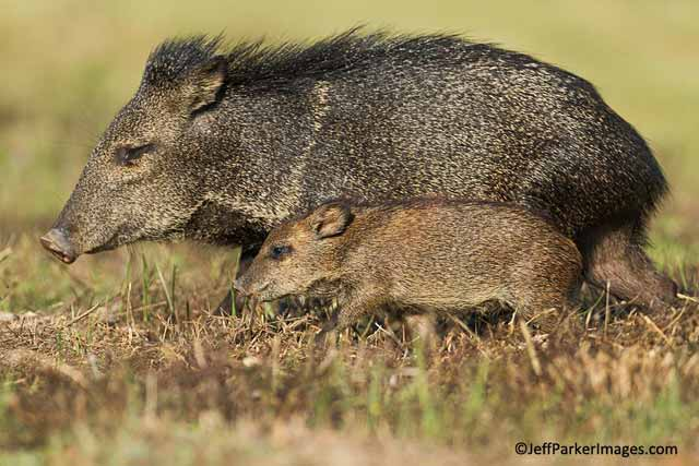 Image result for javelina