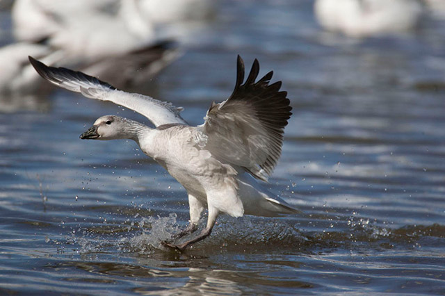Snow Goose landing on the water - high shutter speed, open aperture and panning used by Andy Long.