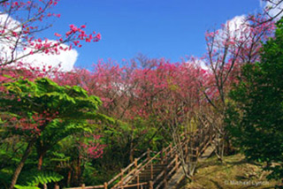 Image of the stairs and cherry blossom trees to the top of Mt. Yadake by Michael Lynch.