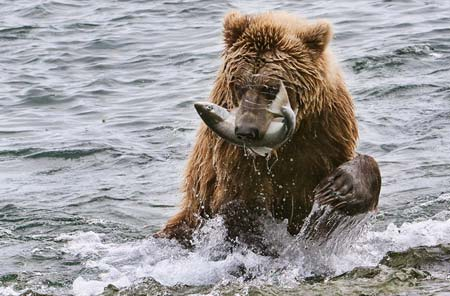 Photo of grizzly bear with salmon by Karen Pleasant