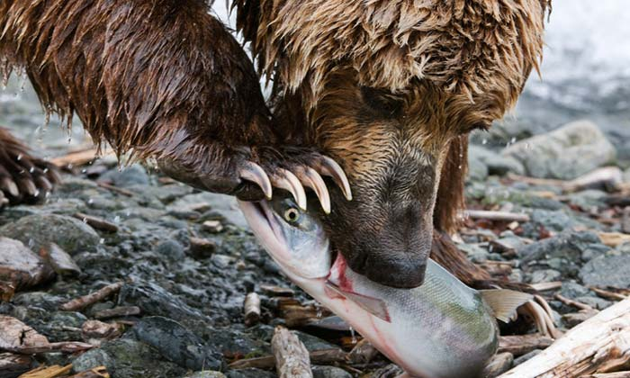 Close-up photo of grizzly bear eating salmon by Karen Pleasanat