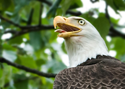 Close-up photo of Bald Eagle by Karen Pleasant