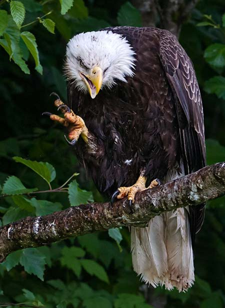 Photo of Bald Eagle on branch by Karen Pleasant