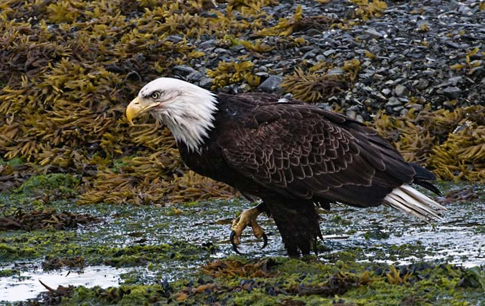 Photo of Bald Eagle on ground by Karen Pleasant