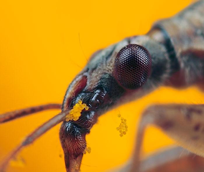 Microphoto of Common Damsel Bug by Huub de Waard.