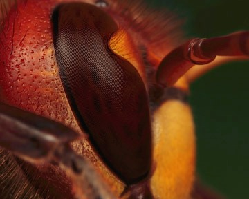 Microphoto of compound eye of Hornet by Huub de Waard.
