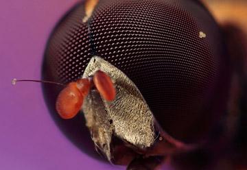 Microphoto of Marmalade Hoverfly by Huub de Waard.