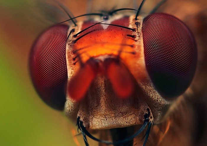 Microphoto of head of Common Yellow Dung-fly by Huub de Waard.