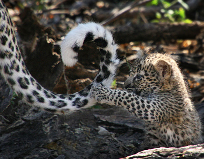 Photo of leopard cub playing with mother's tail by Jenny Sheldon Kirk