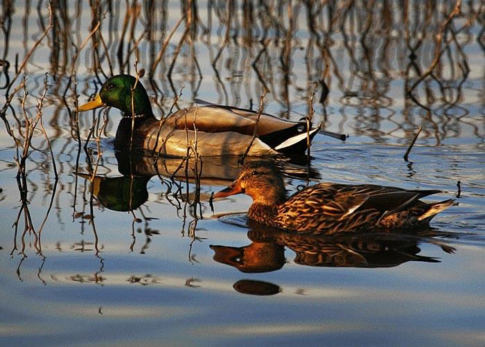 Reflection photo of Mallard Ducks by Noella Ballenger