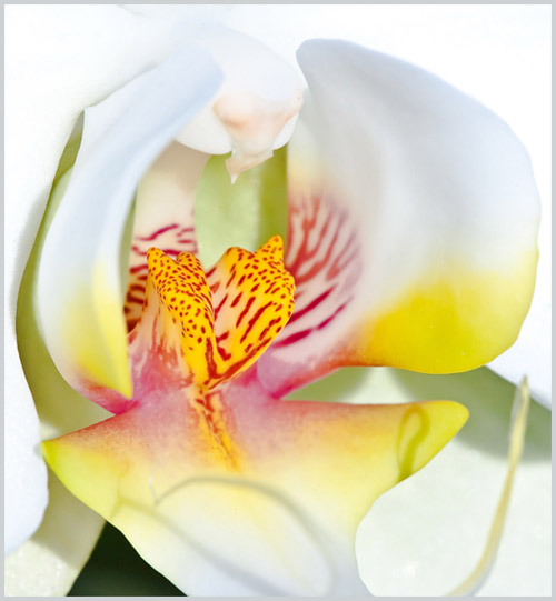 Macro photo of orchid flower by Colin Dunleavy.