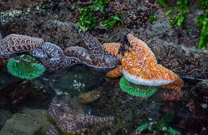Photo of starfish on beach in the Olympic Peninsula, Washington by Michael Leggero