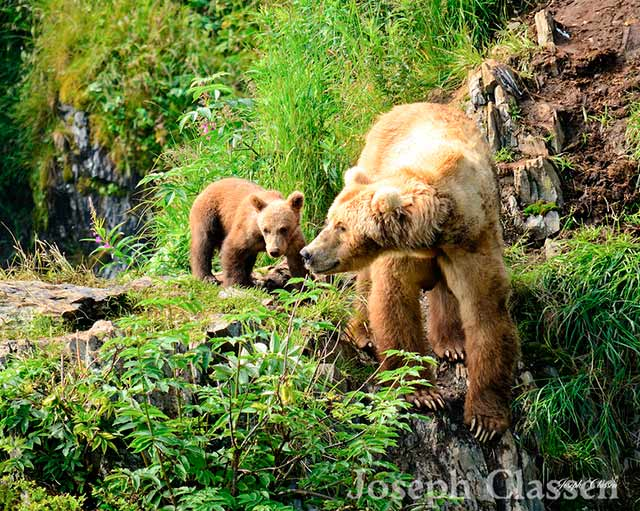 A Kodiak Brown Bear sow and cub spend some time bonding on top of a steep cliff overlooking the Frazer River by Joseph Classen.
