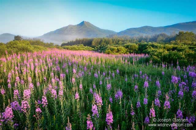 Brilliant Fireweed blooms are lit up by the morning sun as the fog lifts along the banks of the American River, Kodiak Island, Alaska by Joseph Classen.