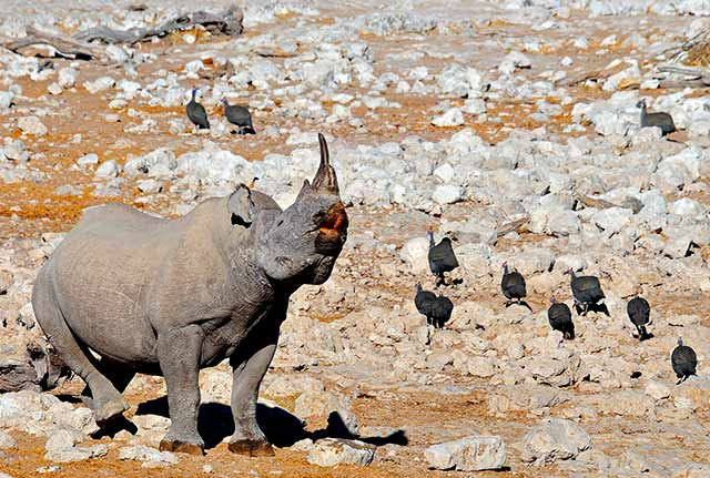 Black Rhino and vultures on a rocky landscape at Etosha National Park, Namibia, South Africa by Jennifer Fazekas.