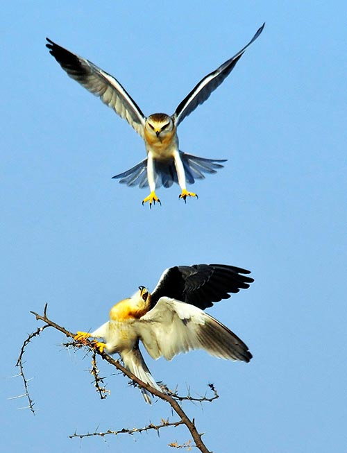 Aciton photo of two Black-shouldered Kites at Etosha National Park, Namibia, South Africa by Mario Fazekas.
