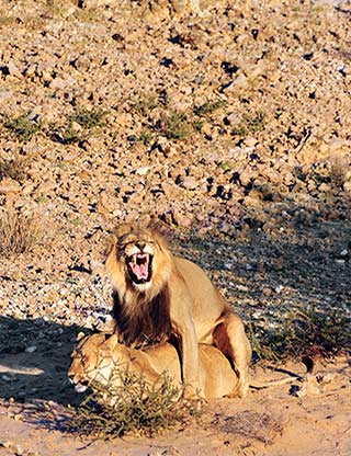 Mating Lions at Kgalagadi Transfrontier Park in South Africa by Mario Fazekas.