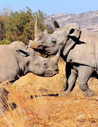White Rhinos at Pilanesberg National Park, South Africa by Jennifer Fazekas.