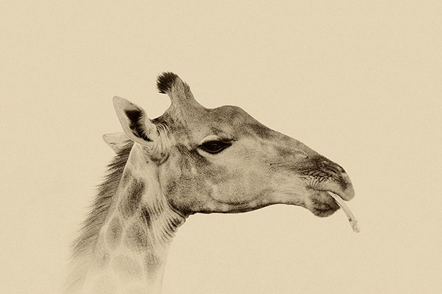 Sepia tone portrait of Giraffe sucking bone at Kruger National Park in South Africa by Mario Fazekas.