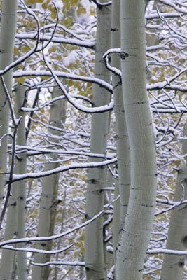 Photo of snow on branches of Aspen trees during Autumn by Andy Long