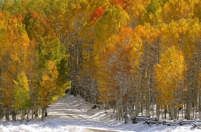Photo of Aspen trees in snow near Telluride, Colorado by Andy Long