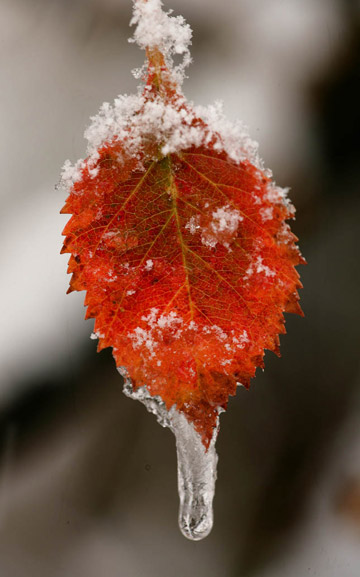 Close-up photo of Aspen leaf with snow and ice by Andy Long