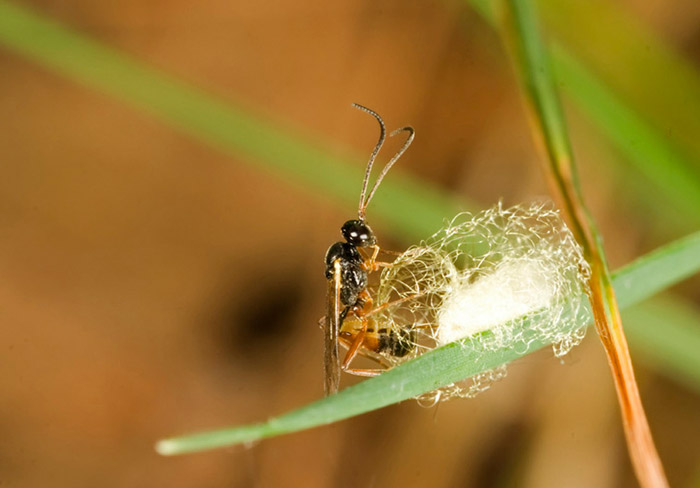 Photo of Chalcidoidea wasp laying eggs in her cocoon by Edwin Brosens