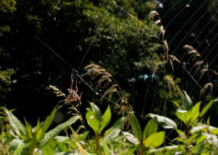 Environmental photo of Barichneumon Bilunulatus wasp in spider web by Edwin Brosens