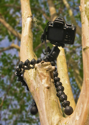 Image of Joby GorillaPod Focus and Ballhead X attached to tree by Marla Meier.