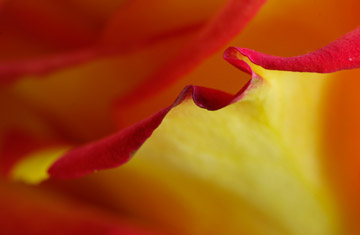 Macro photo of rose petal edge in natural light by Marla Meier