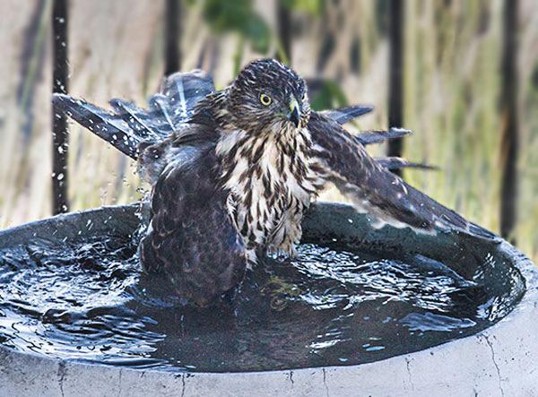 Photo of Cooper's Hawk in backyard birdbath by Noella Ballenger