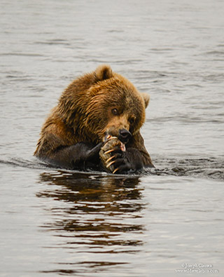 A Kodiak Brown Bear sits in the water of the Ayakulik River eating salmon at Kodiak Island, Alaska by Joseph Classen