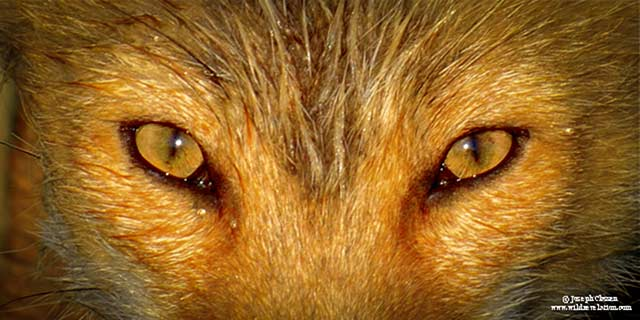 Close-up photo of watchful eyes of a red fox in Uyak Bay, Kodiak Island, Alaska by Joseph Classen.
