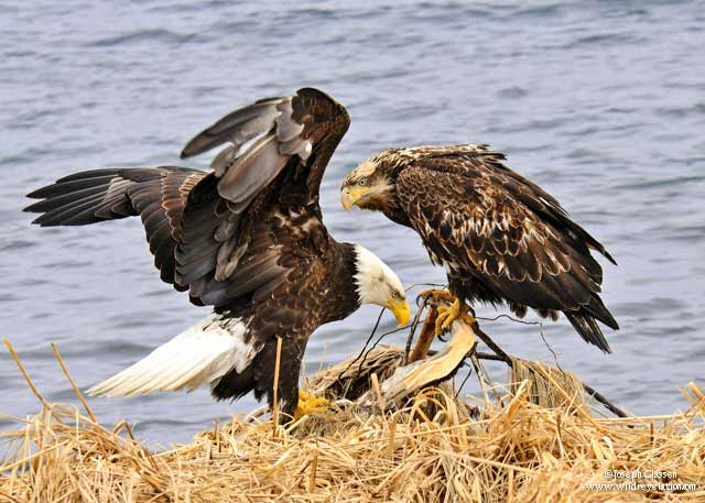 A Bald Eage and its offspring having a meal along a bay at Kodiak Island, Alaska by Joseph Classen.