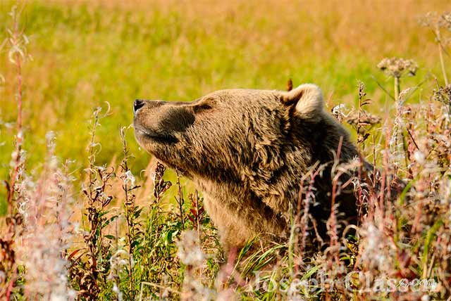 A Kodiak brown bear smiles while enjoying a sunny, beautiful autumn day along the Ayakulik River at Kodiak Island, Alaska by Joseph Classen.