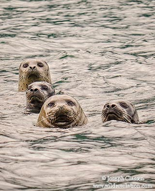 Harbor Seals with heads sticking out of the water in Ugak Bay at Kodiak Island, Alaska by Joseph Classen.
