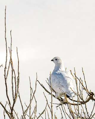 A snow white Ptarmigan roosts on a branch in subzero winter temperature on Kodiak Island, Alaska by Joseph Classen