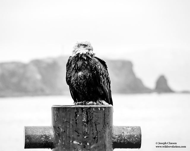 Black and white image of Bald Eage sitting on a post at the dock of a bay in Kodiak Island, Alaska by Joseph Classen