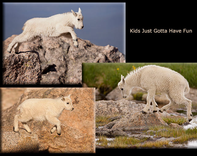 Images of baby mountain goats jumping and playing by Andy Long.