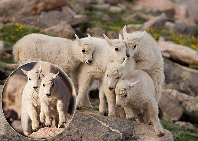 Kids (baby mountain goats) playing King of the Hill by Andy Long.