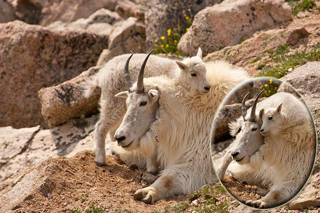 Images of baby mountain goat climbing on its mother by Andy Long.