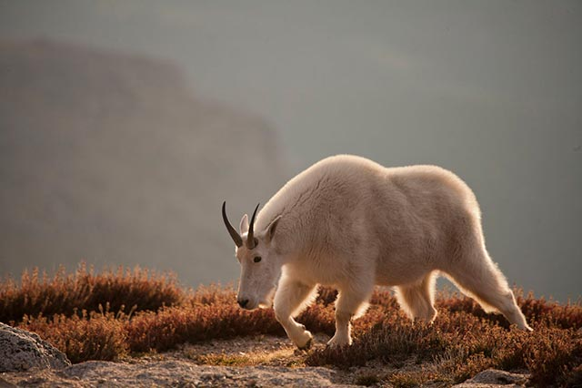Backlight and rim light on mountain goat at sunset by Andy Long.
