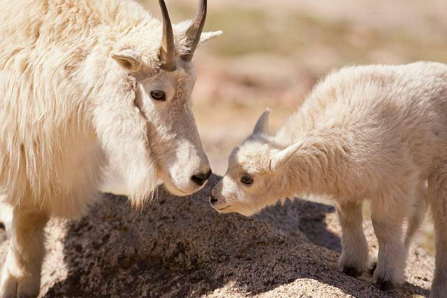 Close-up of baby mountain goat greeting its mom by Andy Long.